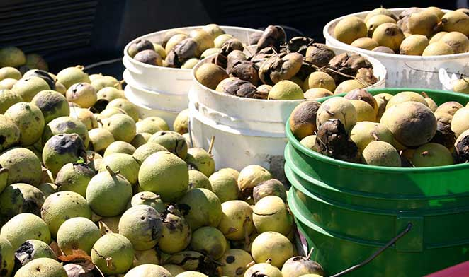 In the Kitchen with Black Walnuts: America's Indigenous Baking Nut